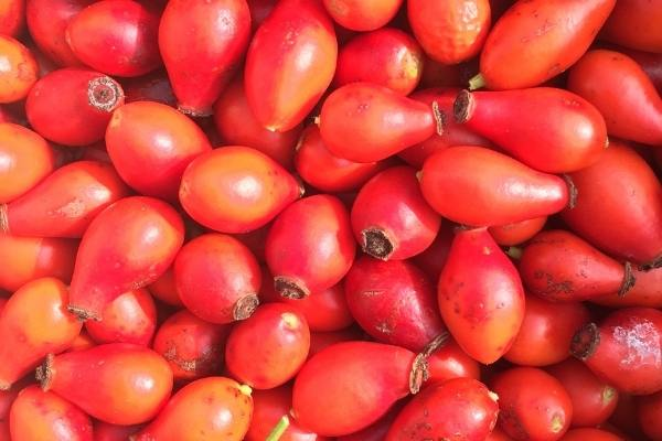 Picked rose hips ready to dehydrate