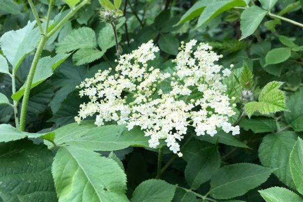 Elderflowers on the vine
